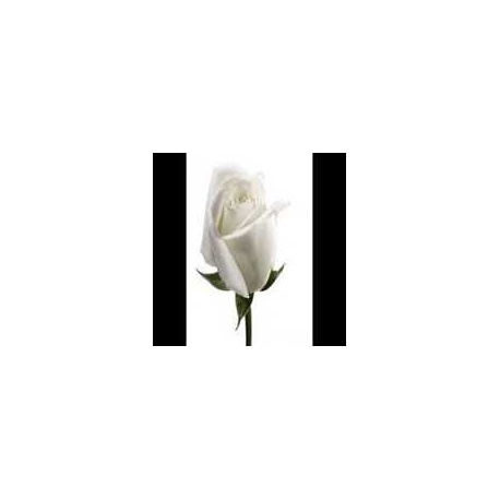 ROSA ETERNA COLOR BLANCA 22.5 cm