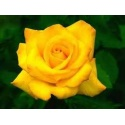 ROSA ETERNA COLOR AMARILLO 22.5 cm