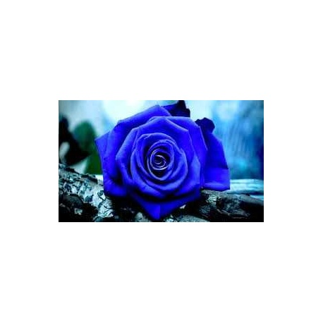 ROSA ETERNA COLOR AZUL OSCURO 22.5 cm