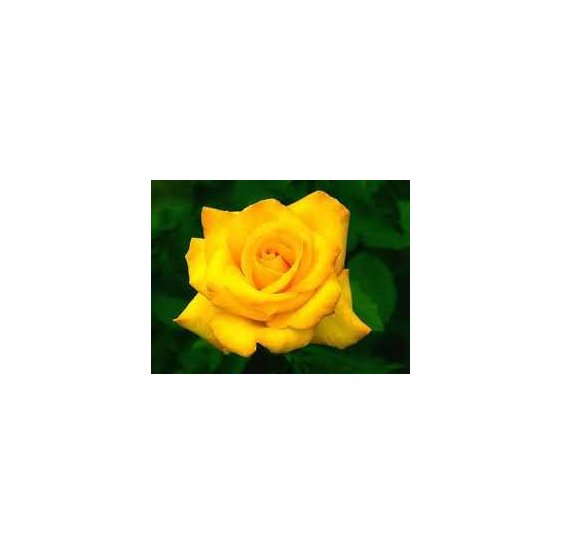 ROSA ETERNA COLOR AMARILLO 60 cm